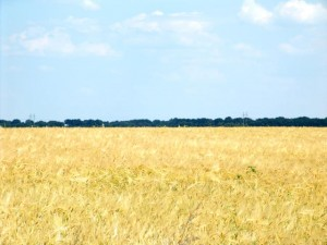 6wheat